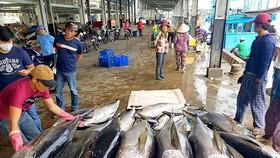 Ngư dân Khánh Hòa khai thác cá ngừ đại dương xuất khẩu