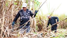 Nông dân trồng mía cần được hỗ trợ kỹ thuật, tài chính và thu mua sản phẩm