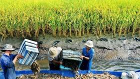 Mô hình sản xuất tôm lúa thích ứng với biến đổi khí hậu ở ĐBSCL. Ảnh: PHAN THANH