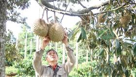 Nông dân huyện Đắk Mil phấn khởi khi thị trường sầu riêng được giá