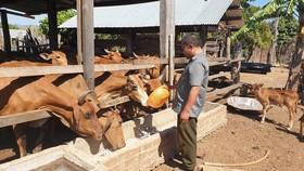 Nhờ cần cù, siêng năng đến nay vợ chồng anh Diện đã có 6ha mía, đàn bò hơn 50 con, thu nhập bình quân từ 500 - 700 triệu đồng/năm