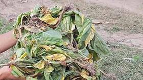 205ha cây thuốc lá bị chết do mưa và nấm