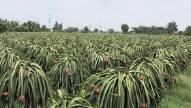 Sản xuất và xuất khẩu cây ăn quả: Thiếu thông tin về thị trường tiêu thụ