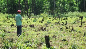 Cả rừng thông tại tiểu khu 460 bị chết khô