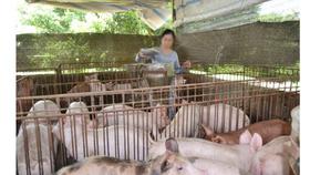 Đồng Nai: Vẫn đảm bảo nơi giết mổ heo cung ứng cho TPHCM