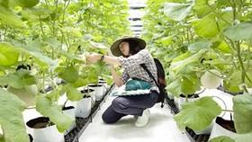 Chăm sóc dưa lưới trồng trong nhà màng