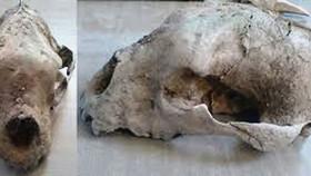 Hóa thạch gấu có niên đại 120.000 năm