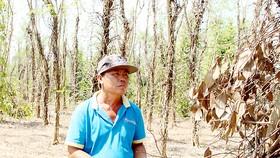 Người trồng tiêu ở huyện Bù Đốp buồn rầu vì tiêu chết hàng loạt, lại gặp cảnh rớt giá liên tục       Ảnh: HOÀNG BẮC