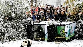 Trung Quốc thả 2 gấu trúc vào rừng