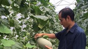 Nhà vườn sản xuất dưa lưới áp dụng công nghệ cao nhờ lưới điện phủ tới vùng canh tác