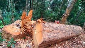Bắt Trưởng ban Quản lý rừng phòng hộ La Ngà