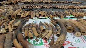 Điều tra mở rộng vụ vận chuyển ngà voi từ nước ngoài vào Việt Nam