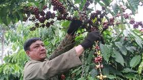 Mỗi năm Nestlé mua 20% - 25% lượng cà phê Việt