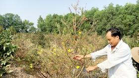 Ông Dương Đức Xuyên chăm sóc vườn mai để chuẩn bị bán dịp tết