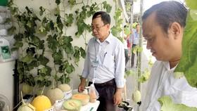 Dưa lưới giống Nhật Bản đang trồng nhiều tại TPHCM