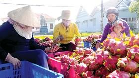 Người dân Hàm Liêm ổn định kinh tế nhờ trái thanh long