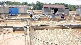 Đồng Nai: Hơn 5.000 tấn cá bè bị thiệt hại do mưa lũ