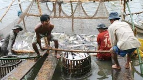 Local farmers harvest tra fish photo: SGGP
