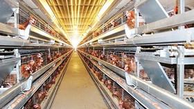 Triển khai dự án xuất khẩu 1 triệu con gà/tuần
