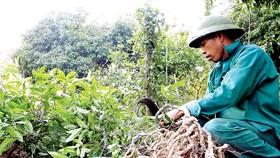 """Bảo tồn và phát huy giá trị cây thuốc Việt - Bài 1: """"Vàng xanh"""" đang cạn kiệt"""