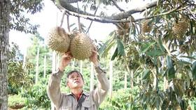 Trung Quốc nhập khẩu chính ngạch sầu riêng và khoai lang