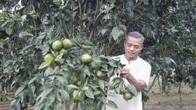 Vườn cam Vinh của ông Thắng thành công trên vùng đất Quảng Nam