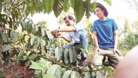 Ông Phan Văn Tâm - Trưởng phòng marketing Công ty Bình Điền - hướng dẫn nông dân chăm sóc cây cà phê diện tái canh