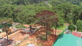 """Hàng loạt cây thông ở Đà Lạt bị """"bức tử"""" trong khu dân cư"""