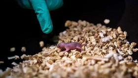 Chuột con khỏe mạnh ra đời từ 2 chuột cái. Ảnh: Phys.org