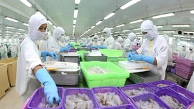 Chế biến sản phẩm tôm phục vụ xuất khẩu. (Ảnh: Huy Hùng/TTXVN)