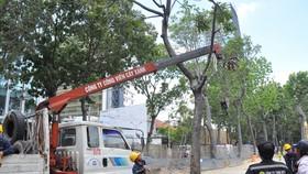 Đốn hạ 143 cây xanh trên đường Tôn Đức Thắng để xây cầu Thủ Thiêm 2