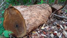 Một lóng gỗ khổng lồ còn để lại hiện trường