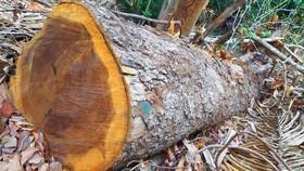 Chi cục Kiểm lâm vùng IV vào cuộc vụ rừng cổ thụ bị phá ở giữa 2 trạm bảo vệ