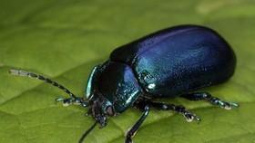Bắt bọ cánh cứng bán cho thương lái: Hiểm họa khôn lường