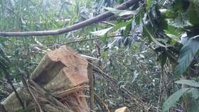 Hiện trường vụ phá rừng