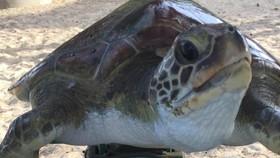 Nội soi gắp rác thải trong bụng rùa biển