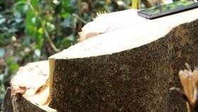 Hơn 20 cây gỗ lớn bị đốn hạ tại rừng phòng hộ Sông Tranh