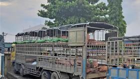 Chiếc xe chở heo bị nhiễm bệnh dịch tả heo Châu Phi