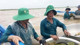 Nông dân An Phú dầm mình trong nước lũ ngoài đê bao vớt lúa. Ảnh: TUẤN QUANG