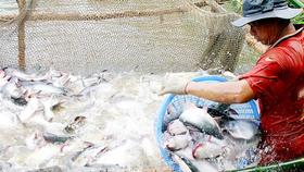 Giá cá tra ở ĐBSCL đang tăng kỷ lục