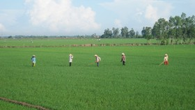 ĐBSCL: Hơn 30.700 ha lúa bị nhiễm bệnh muỗi hành