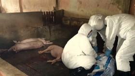 Lực lượng thú y Sóc Trăng tiêu hủy heo bị bệnh