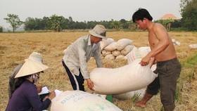Thương lái ở ĐBSCL thu mua lúa tươi loại thường khoảng 4.300 đồng/kg, giá này không cao. Ảnh: NGUYỄN THANH