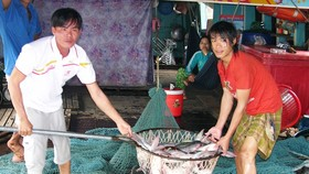 ĐBSCL: Giá cá tra giảm, người nuôi lỗ nặng