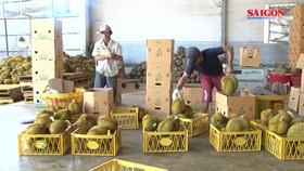 Sầu riêng Đắk Lắk được mùa, giá cao kỷ lục