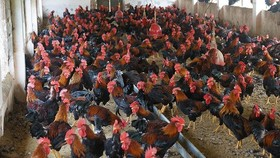 Vietnamese enterprises massively increase poultry farming