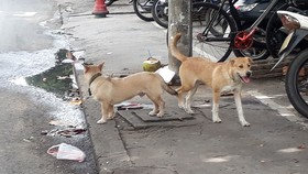 Việc chó thả rông, không đeo rọ mõm khi ra đường vẫn diễn ra khắp nơi.  Ảnh: ĐOÀN HIỆP
