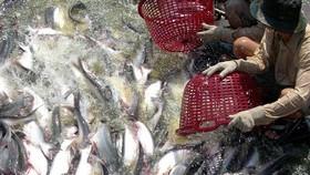 Liên kết để tạo chuỗi giá trị cá tra