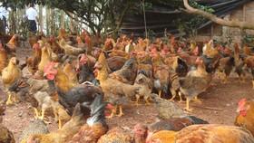 Cúm gia cầm H5N6 là một bệnh truyền nhiễm nguy hiểm, bệnh có tốc độ lây lan rất nhanh