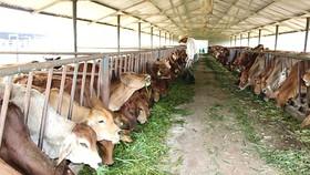 Chăn nuôi bò thịt ở Công ty CP Giống - Thực phẩm sữa trang trại Minh Đăng